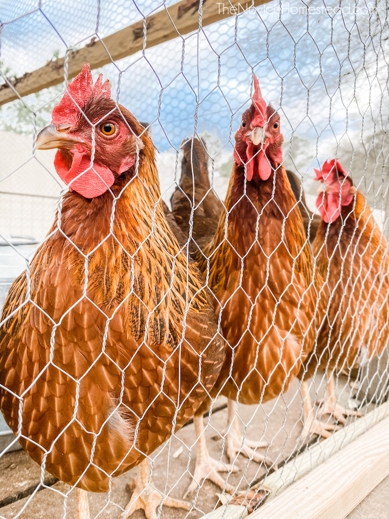 three chickens lined up behind chicken wire fence