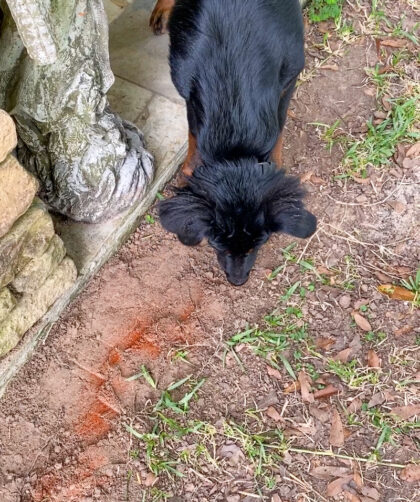 dog sniffing dirt covering in chili pepper