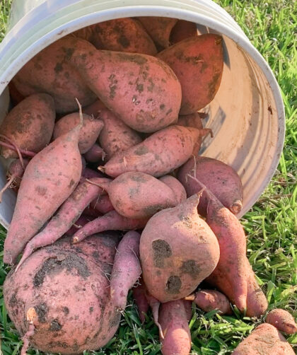 sweet potatoes spilling out of a plastic bucket onto grass