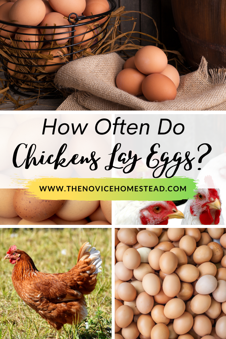 """collage of photos of chickens and fresh eggs; text overlay """"How Often Do Chickens Lay Eggs?"""""""