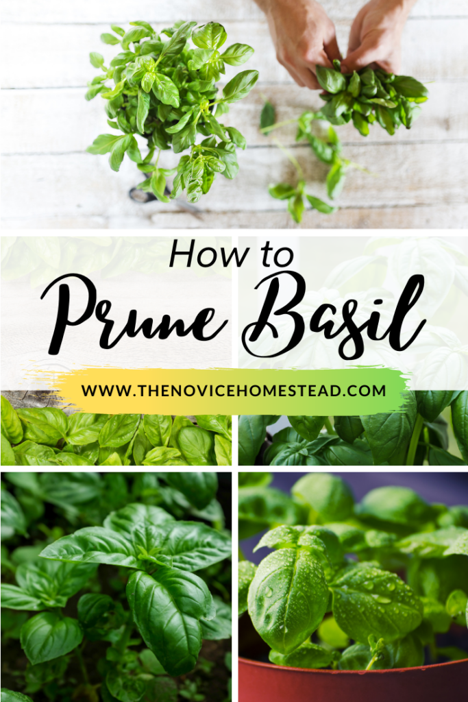 """collage of images of basil plants; text overlay """"How to Prune Basil"""""""