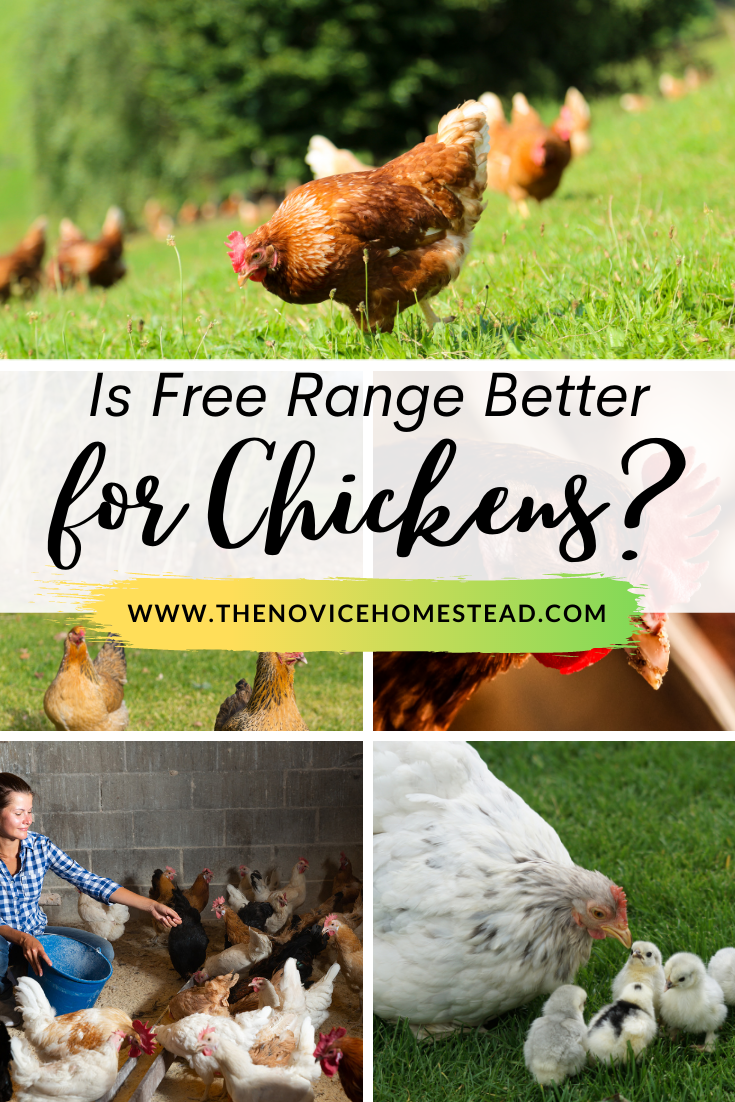 """collage image of free range chickens; text overlay """"Is Free Range Better for Chickens?"""""""