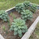 kale plants growing in a raised bed garden
