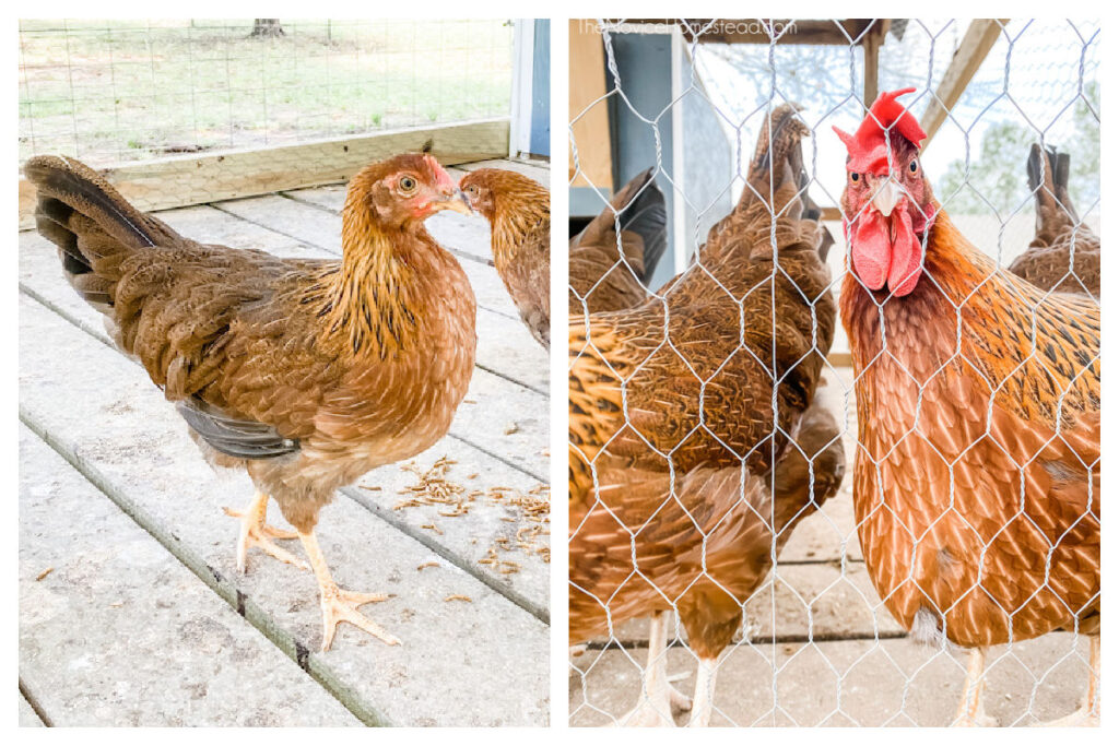 side by side photo of a young pullet and mature hen