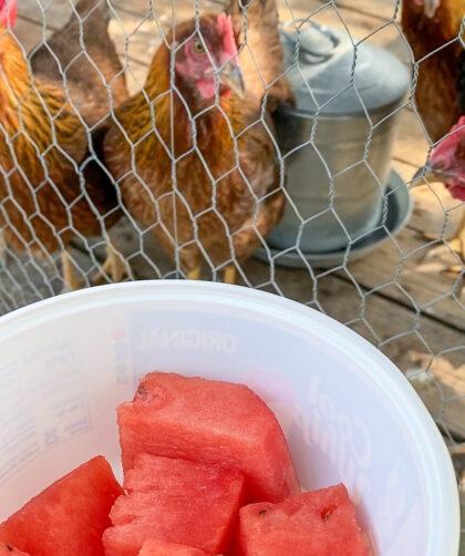 feeding watermelon to chickens