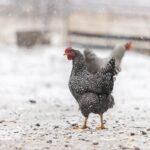 chicken walking in falling snow