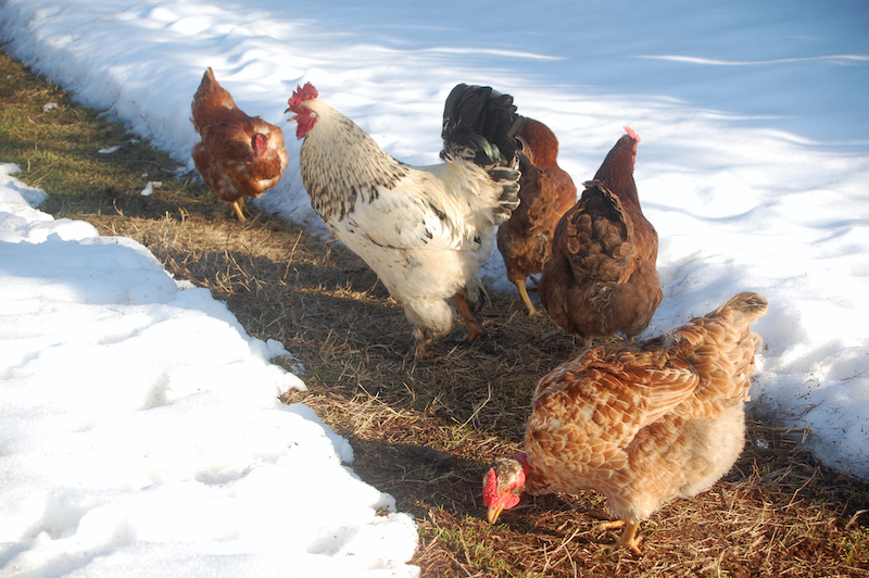 chickens walking on path between snow banks