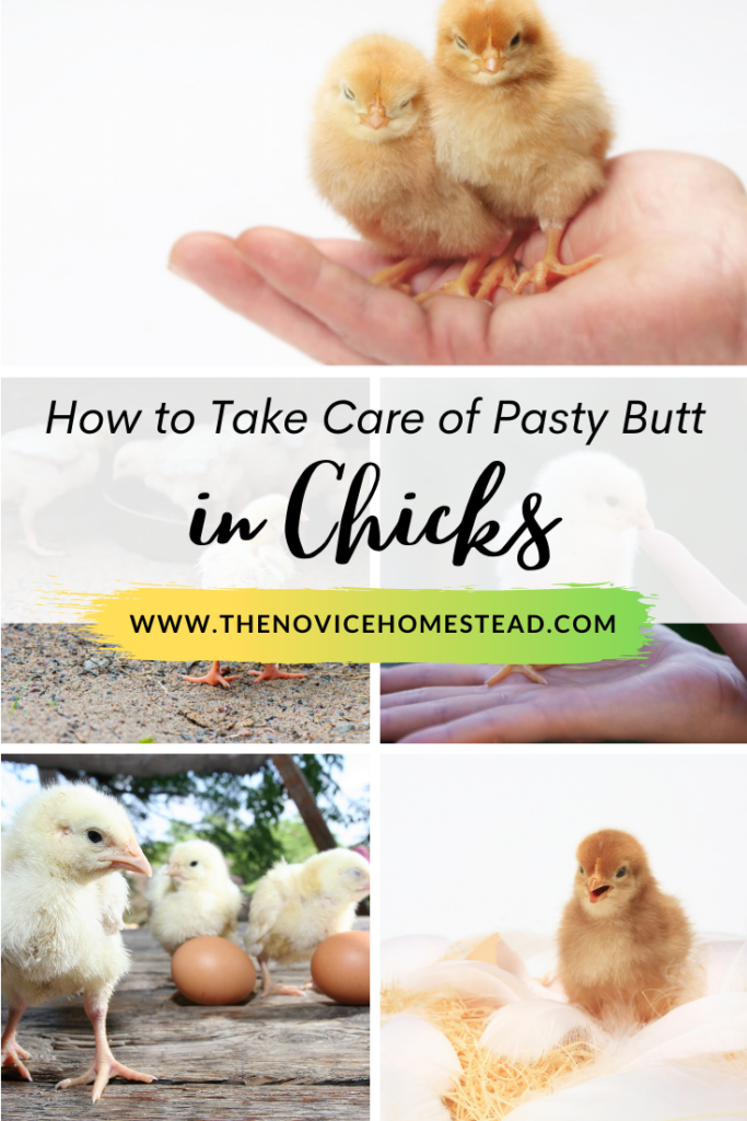 """photos of baby chicks; text overlay """"How to Take Care of Pasty Butt in Baby Chicks"""""""