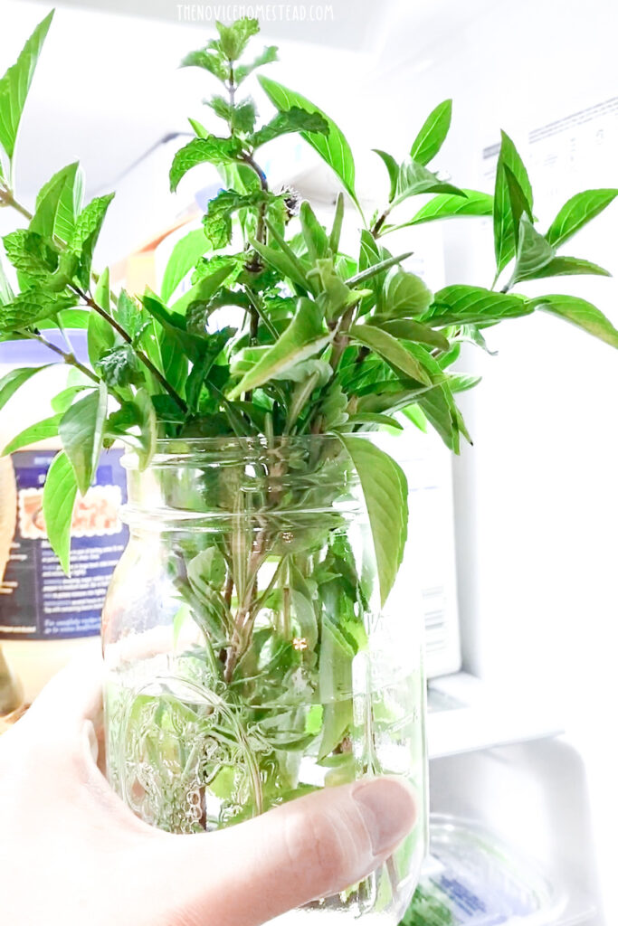placing a jar of fresh cut herbs in the fridge