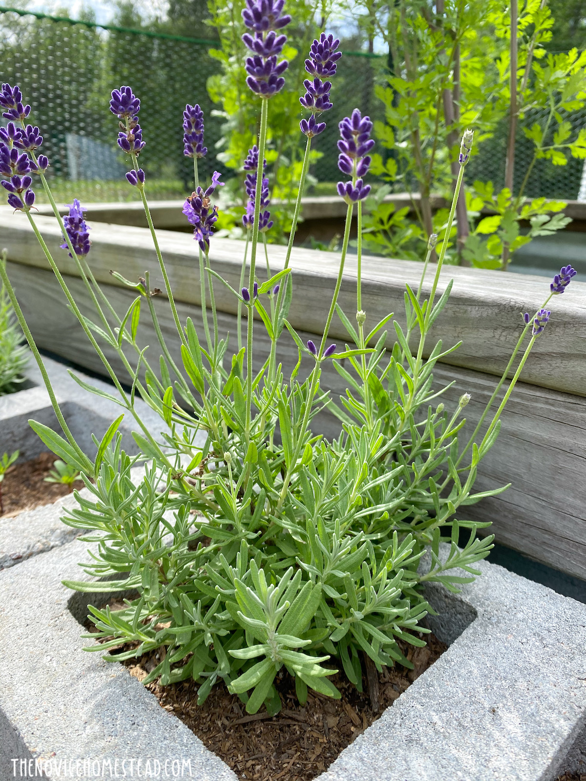 lavender growing in container garden