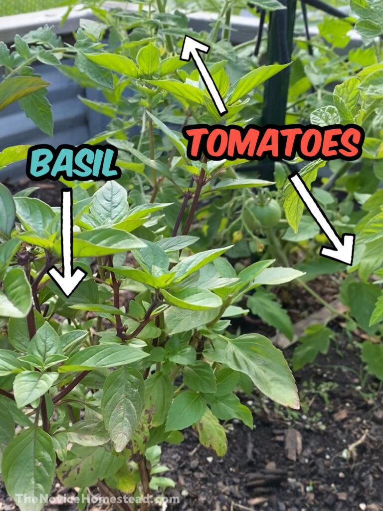 planting basil next to tomatoes
