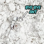 ant trapped in diatomaceous earth