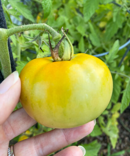 picking yellow tomato from vine