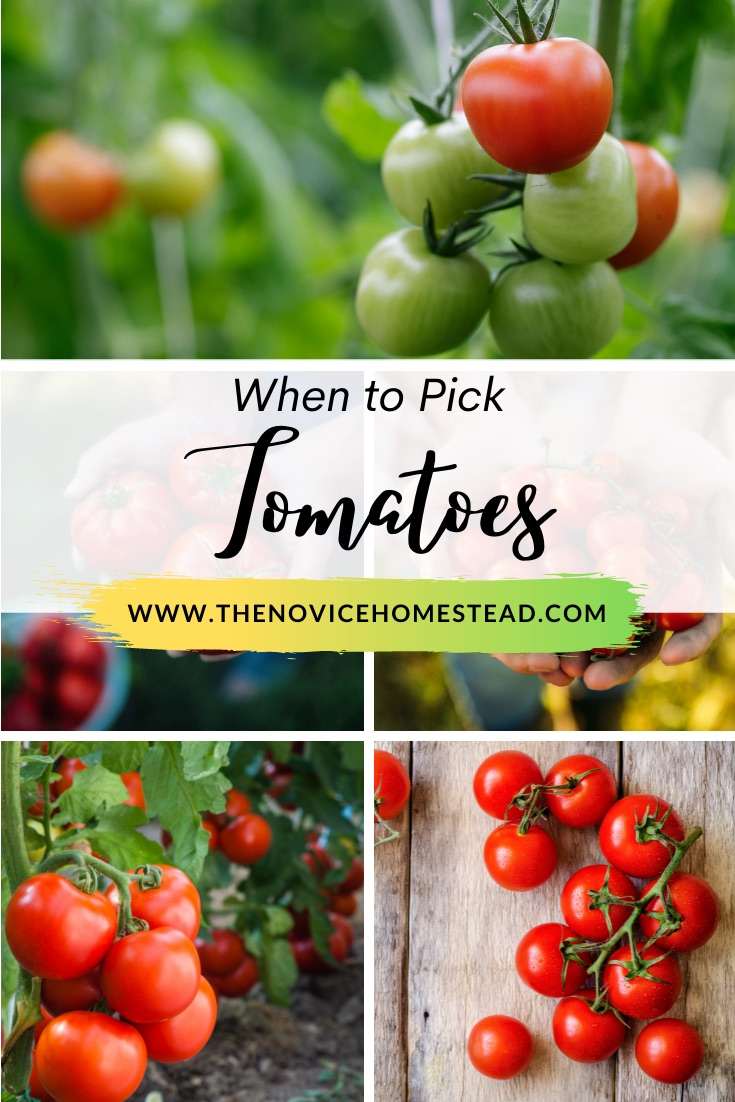 """collage of photos of vine ripened tomatoes; text overlay """"When to Pick Tomatoes"""""""
